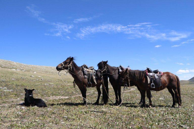 Mongolian Horses or Horses of Mongolia